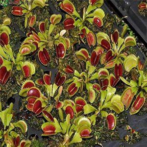 500pcs Carnivore Semences à gazon Anti Moustique Mouches Graines Herbe Plantes en pot semences pour les plantes jardin Courtyard Home Decor de la marque SVI image 0 produit