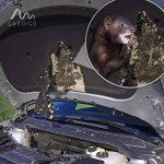 Gardigo 78405 - Set de 2 Répulsifs Ultrason pour voiture, compartiment moteur | Branchement sur la batterie d'automobile 12 V | Repeller repousse anti-martres, fouines, ratons laveurs et rongeurs de la marque Gardigo image 4 produit