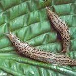 limaces et escargots défense par Exterminateurs choix- répulsif pulvérisation 0.9L fonctionne sur tous les types d'escargots et les limaces-parfait pour la boîte à outils de tout jardinier | tout répulsif spray jardin naturel | de plein air de la marque E image 2 produit