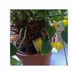 Lot de 24contre les insectes nuisibles. 16Papier tue-mouche Roulettes Panneaux, Stickers attrape-insectes, attrape-mouche avec 18Jaune Jaune Anti Insectes respectueux de l'environnement, non toxique de la marque all-around24® image 3 produit