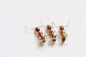 Nématodes Sf contre les fourmis. Sachet de 5 Millions pour traiter 5 fourmilières. Traitement bio et naturel. de la marque image 0 produit