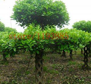 Plantes Bonsai réel Boxwood Seeds Insectifuge Boxtree Bonsai Absorber graines Formaldéhyde BONSAï pour le jardin Bricolage de la marque SVI image 0 produit