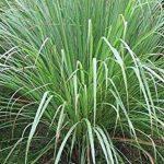 Rivana Citronella-cymbopogon Winteriana Oil-100% pure Essential Oil, 10ml de la marque RIVANA, ESSENTIAL OILS image 1 produit